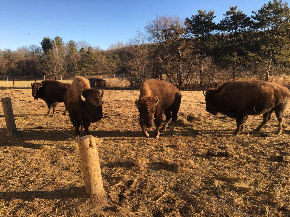 Zollman Zoo joins Minnesota's Bison Conservation Herd partnership with DNR, MN Zoo