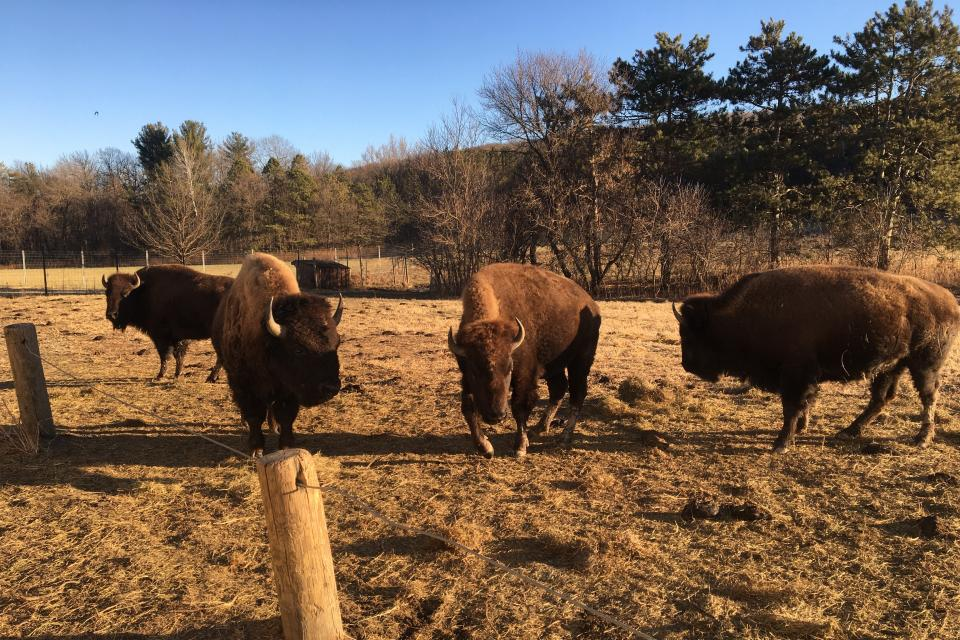Bison at Zollman Zoo in Olmsted County